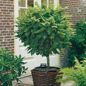 Gp36183701 Pflanzen Baum Strauch Laubgeholze Kugel Robinie