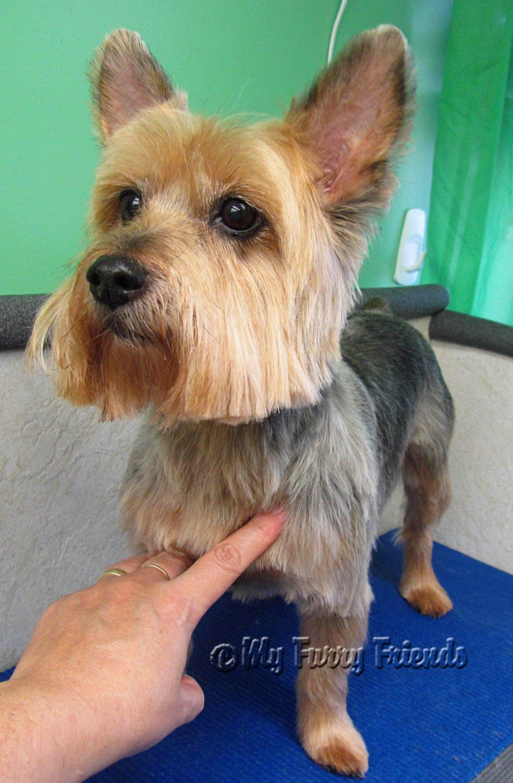 Pet Grooming The Good The Bad The Furry Yorkie Day Yorkie