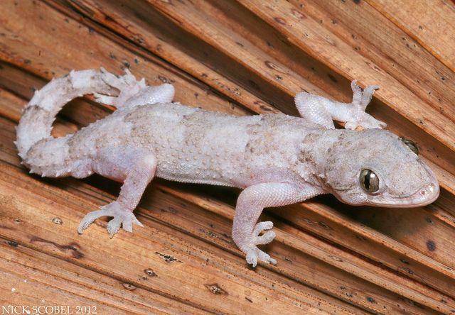 Tropical House Gecko Florida Gecko Gecko Amphibians