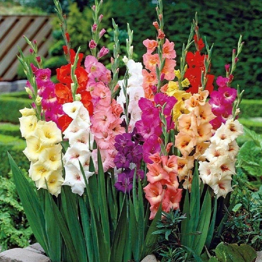 Palma De Santa Rita Gladiolus Sementes De Flores Plantando Bulbos Plantas Ornamentais