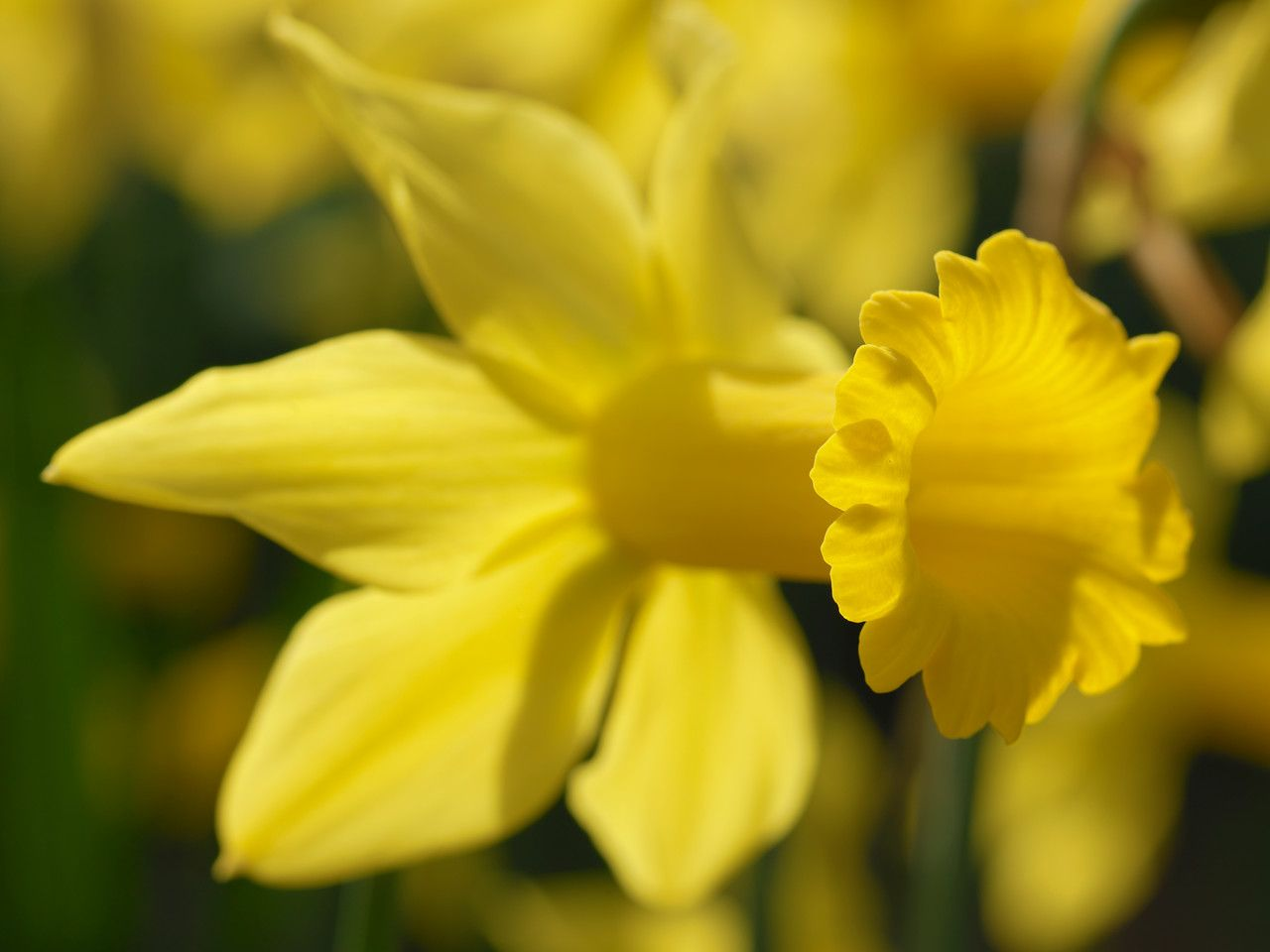 A Open Daffodils Flower With Yellow Heart In The Sun Flower