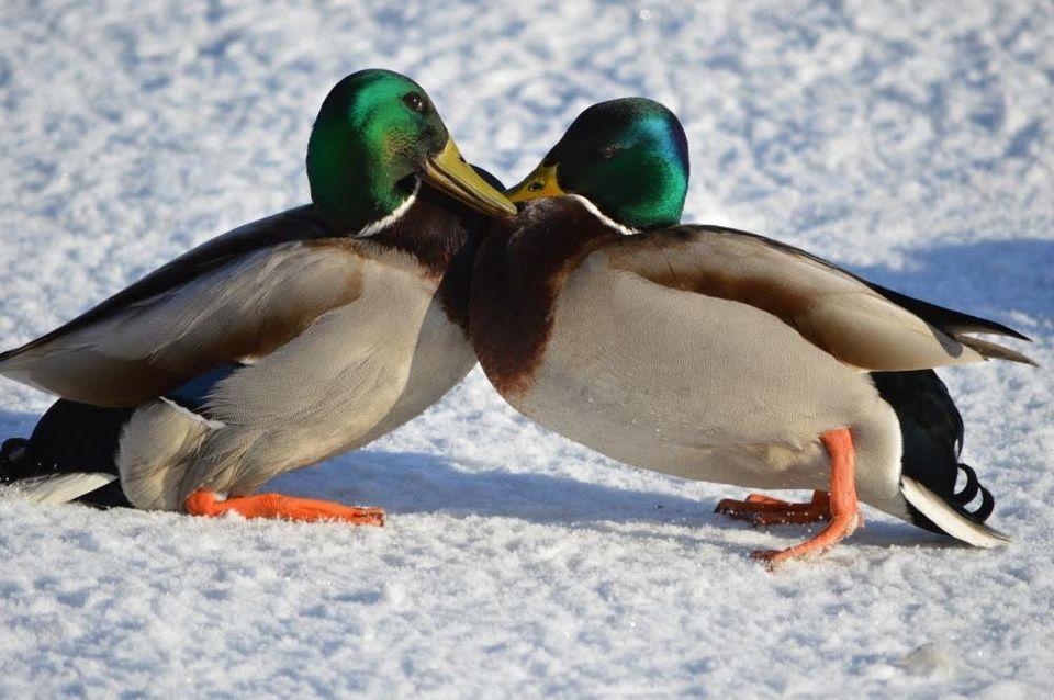 Mallard ducks spring tournament Maaliskuu 2016 | Sää | yle.fi