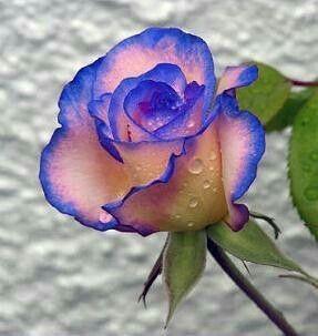 I like blue roses