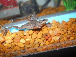 Image By Flickr User Steveng4444 Dwarf Frogs Class Pet Amphibians