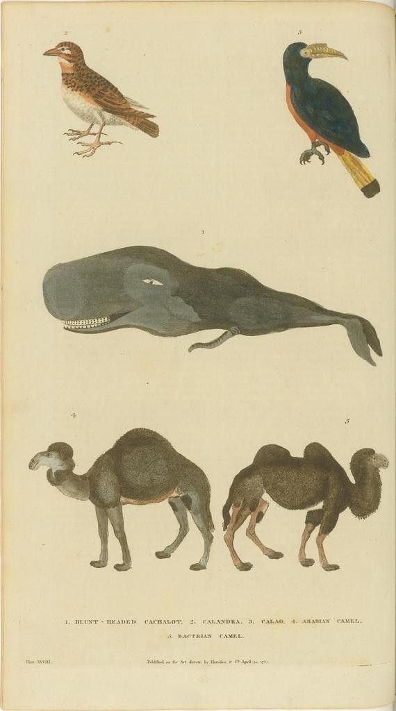 Birds, whale, and camels - 18th c. book illustration.