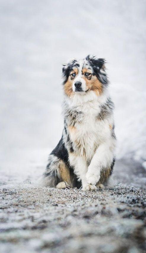 Photo of ¿Cómo se llama un perro de pastoreo que proviene del oeste de los Estados Unidos? Por qué – hhundee – te sigo