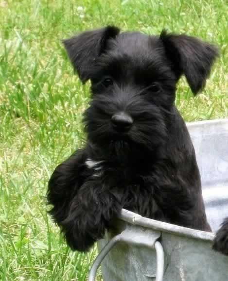 Miniature Schnauzer Pictures Miniature Schnauzer Puppies For Sale Schnauzer Puppy Miniature Schnauzer Puppies Miniature Schnauzer