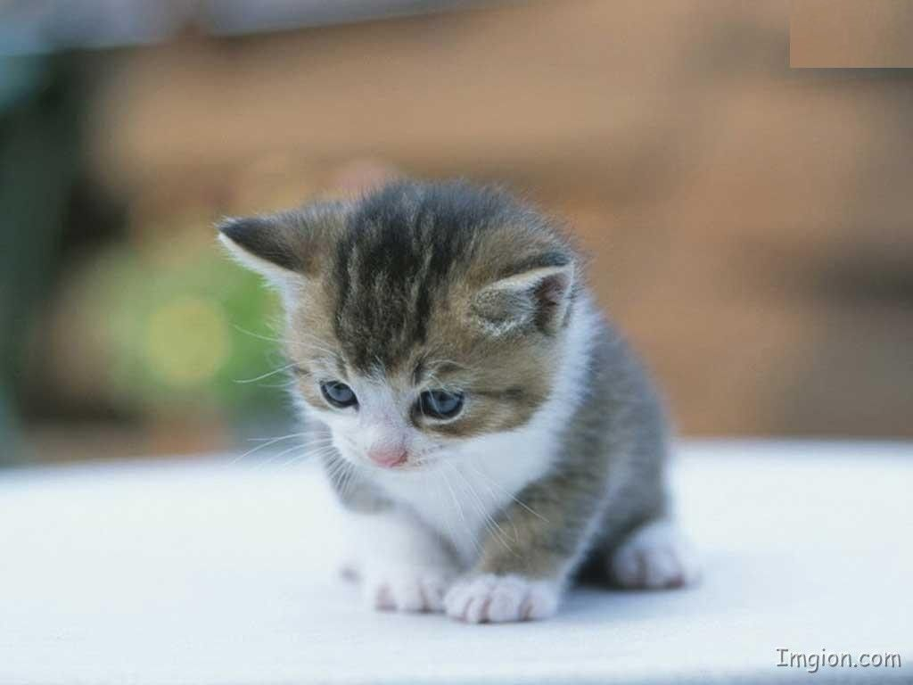 26 best cute kittens images on pinterest   cats, adorable animals