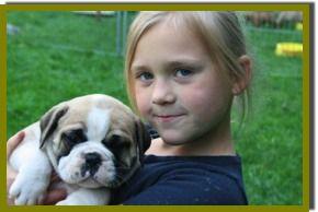 Willkommen Bei Asgard S Pride Continental Bulldogs Www Asgards Pride Com Bulldog Breeds Bulldog Breeds