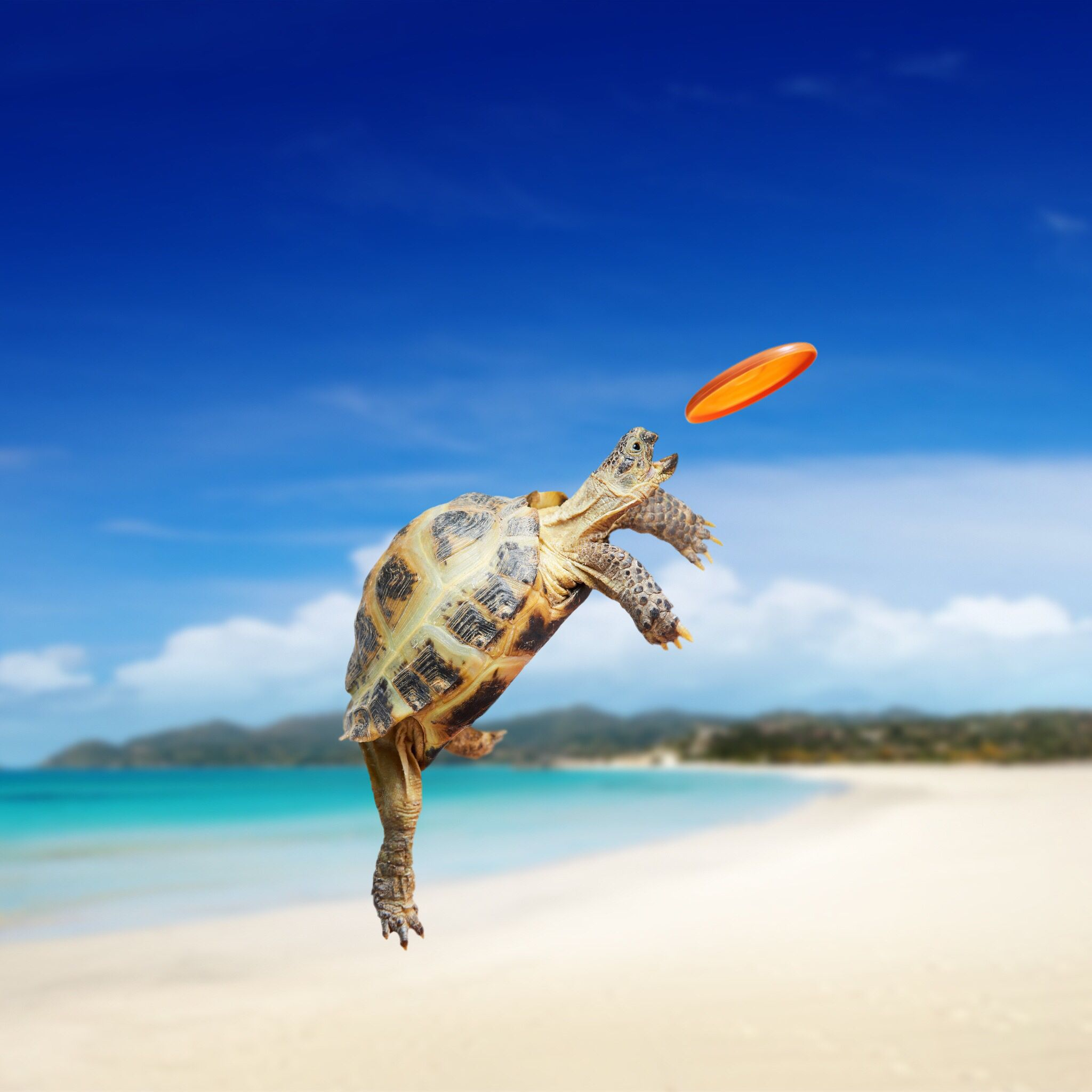 Baby turtle trying to catch a miniature frisbee,can it get