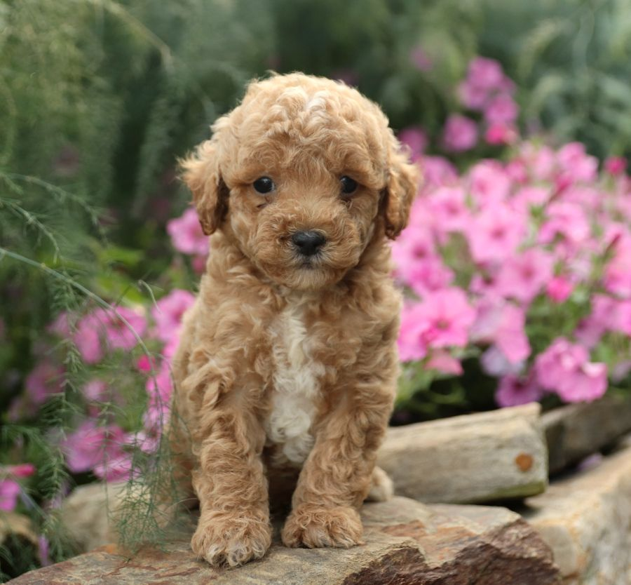 Looking For A Lovable Furball Tiny The Miniaturepoodle