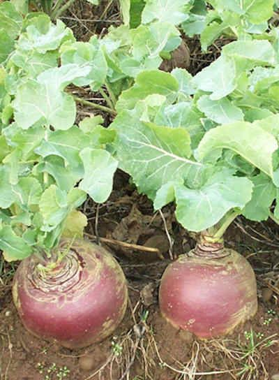 Swedes Planting Vegetables Forage Crops Vegetable Seed