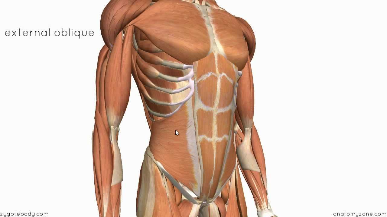 Layers of the Abdominal Wall | ANATOMY / PHYSIOLOGY OF THE BODY ...