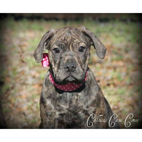 Little Cane Corso Italian Mastiff Can T Wail Til We Buy A House We Have Been Looking To Get One Cane Corso Mastiff Puppies Mastiff Puppies For Sale