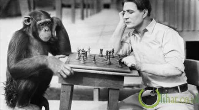 10 Gambar Hewan Simpanse Yang Bertindak Seperti Manusia Binatang