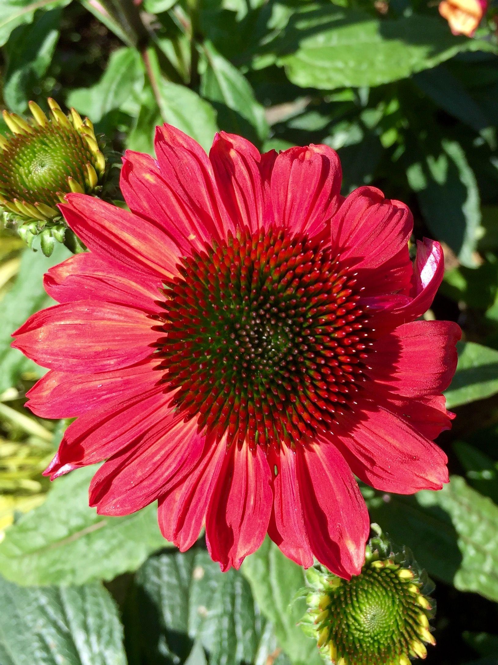 Sombrero Baja Burgundy Echinacea Roger S Gardens Springfield Or Rogers Gardens Echinacea Beautiful