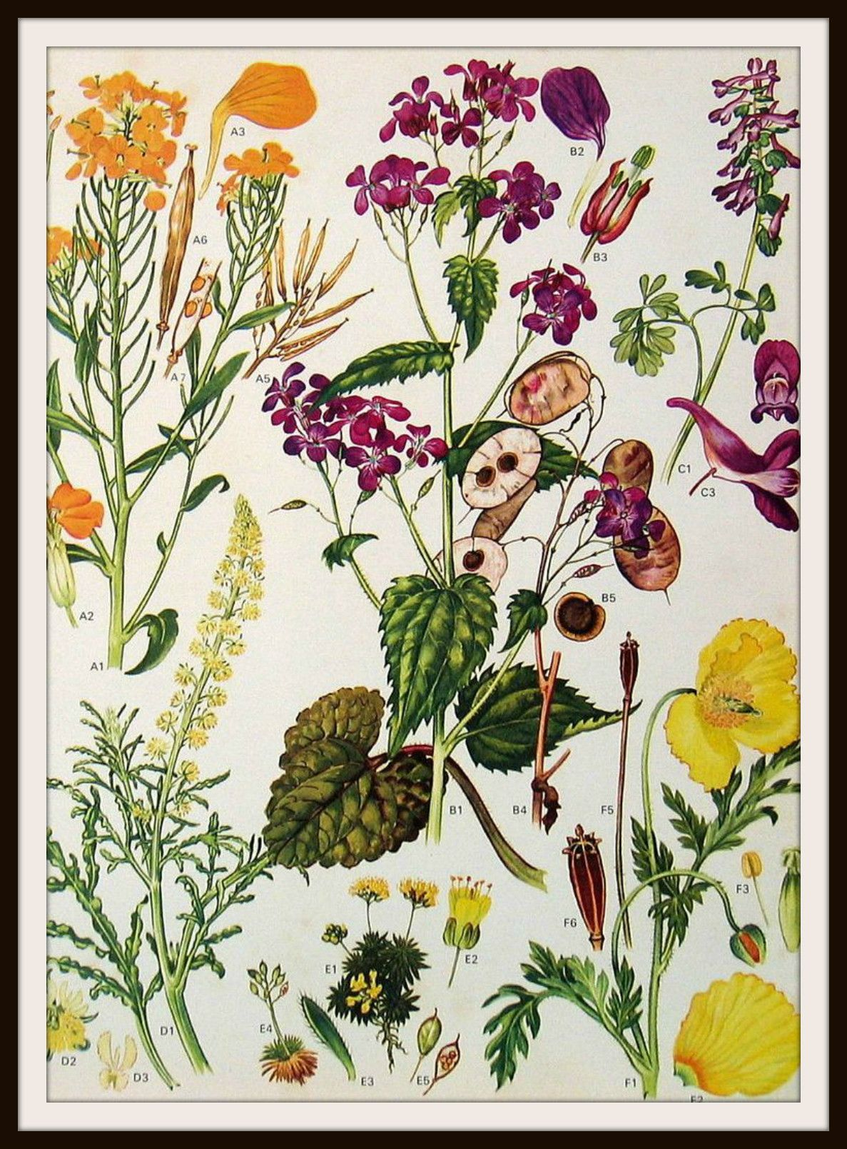 vintage botanical image art print blumen g rten und bilder. Black Bedroom Furniture Sets. Home Design Ideas