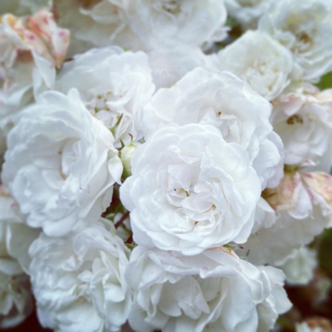 White roses  . . . #white #whiteroses #whiteflowers #flowers #roses #rosesofinstagram #instarose #instaflowers #flowersofinstagram #flowerstagram #garden #rosegarden #nature #naturephotography