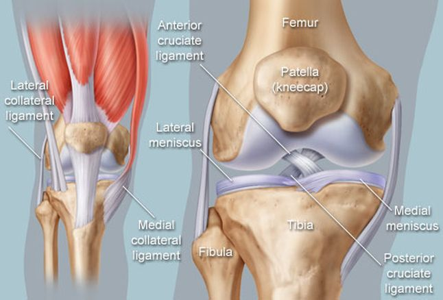 Knee (Human Anatomy): Images, Function, Ligaments, Muscles | desktop ...
