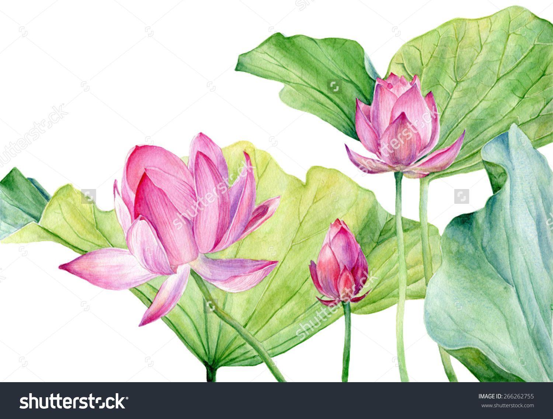 Watercolor Illustration Lotus. Vector. ดอกไม้สีน้ำ, ภาพ