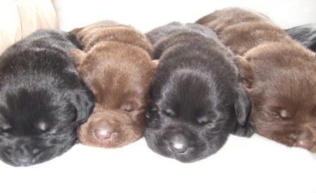 Uk Labrador Breeders Chocolate Labrador Puppies For Sale Labrador Puppy Labrador Retriever Puppies Labrador Puppies For Sale