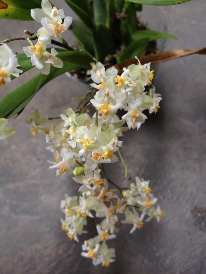Oncidium Twinkle 'Fragrance Fantasy