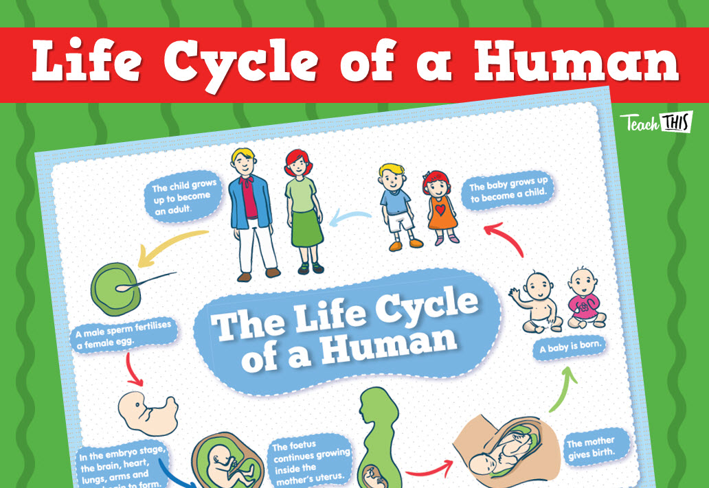 Human Life Cycle Human Life Cycle Life Cycles Classroom Games