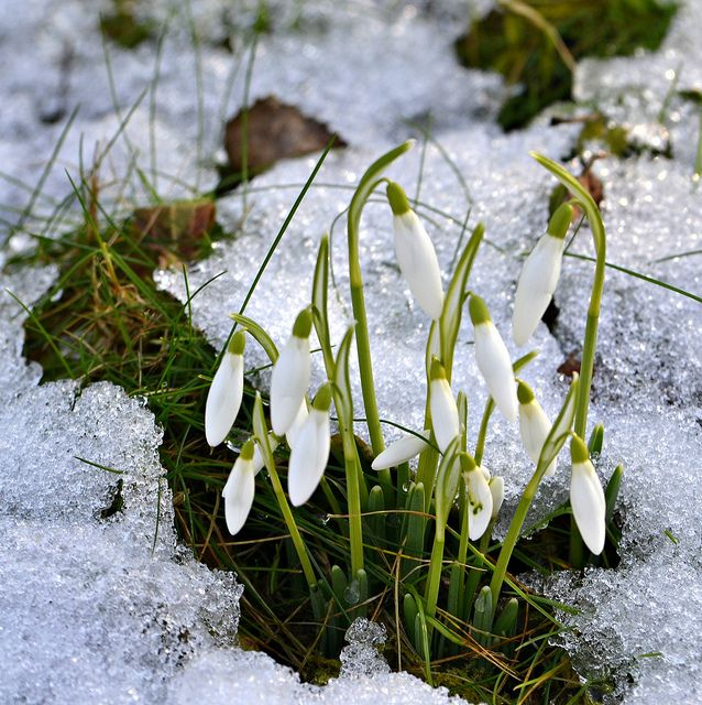 Snowdrops In The Snow Source Kerovous Tumblr Flower Pictures Winter Garden Flowers