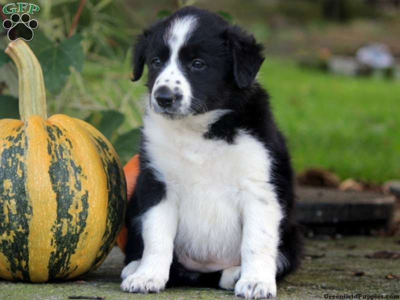 Park Art|My WordPress Blog_Border Collie Puppies For Adoption In Pa