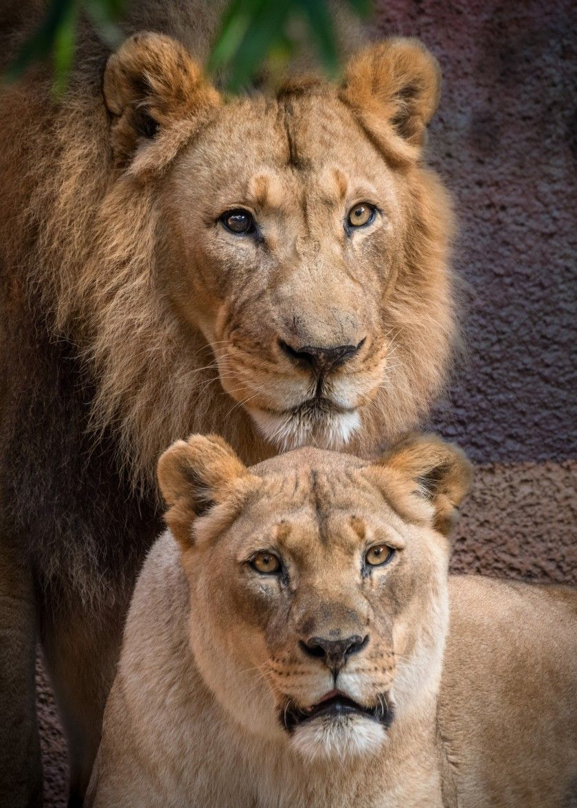Hubert And Kalisa Longtime African Lion Partners At The L A Zoo Are Euthanized In 2020 African Lion Majestic Animals Lion Couple