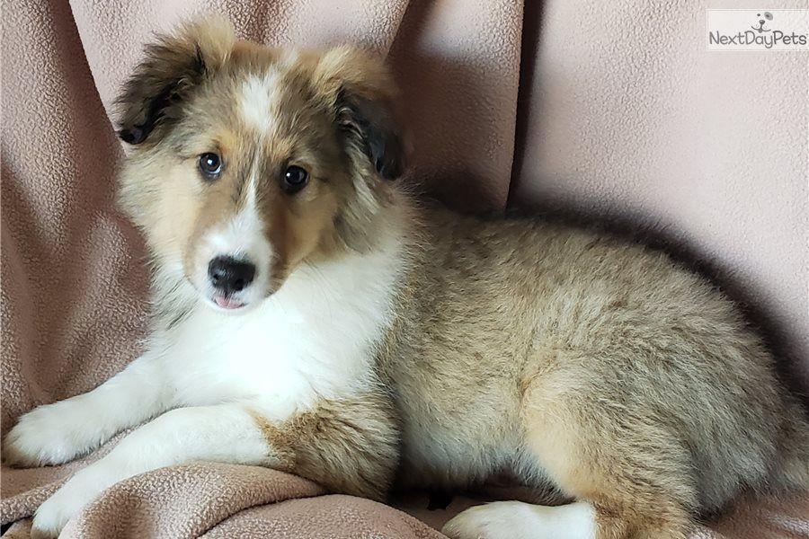 Shetland Sheepdog Sheltie puppy for sale near San Diego