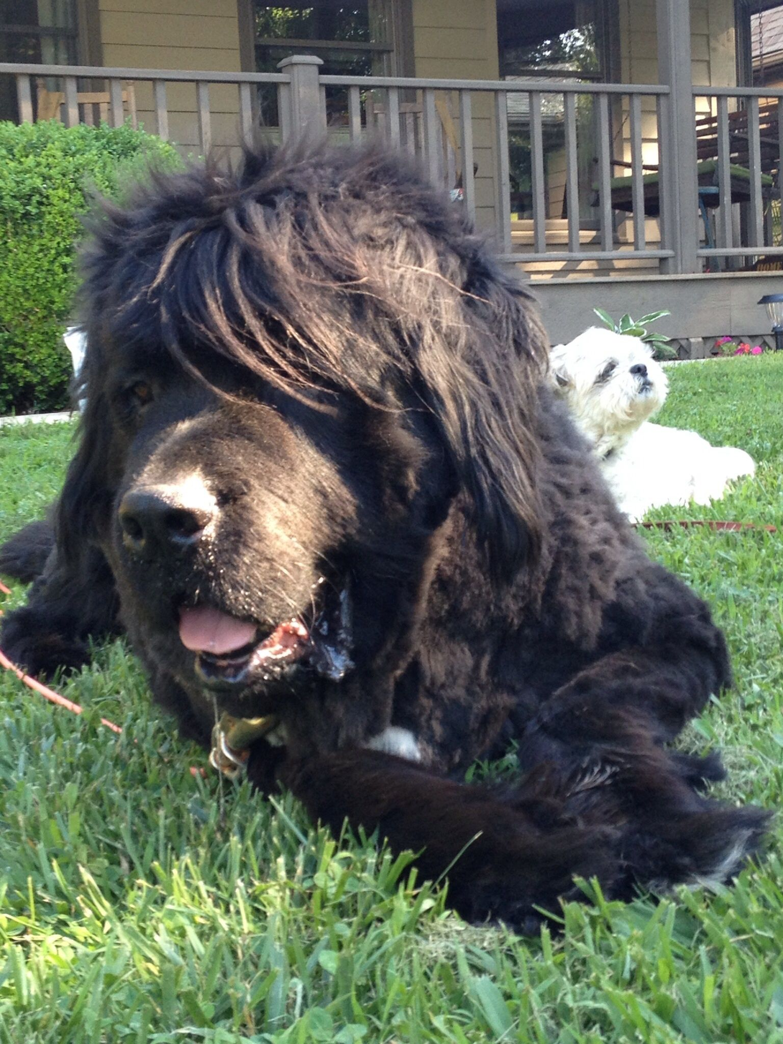 Thor and Sammy Newfoundland puppies, Pets, Dogs