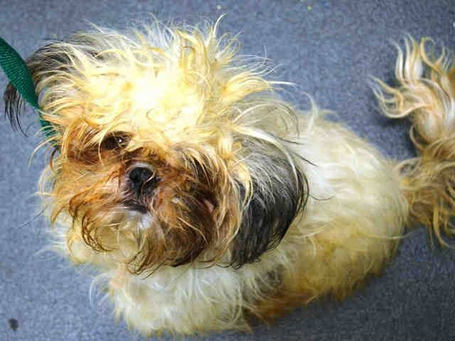 SAFE --- Brooklyn Center POSH - A1020769 MALE, CREAM / GRAY, SHIH TZU MIX, 5 yrs STRAY - STRAY WAIT, NO HOLD Reason STRAY Intake condition EXAM REQ Intake Date 11/15/2014, From NY 11216, DueOut Date 11/18/2014, https://www.facebook.com/Urgentdeathrowdogs/photos/pb.152876678058553.-2207520000.1416345924./906003379412542/?type=3&theater +++++++VERY SWEET+++++++++