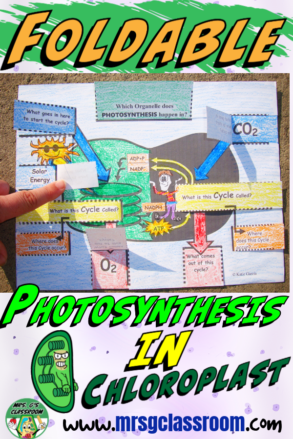 Photosynthesis Foldable Chloroplast Photosynthesis