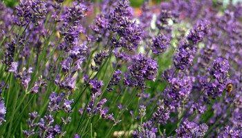 Lavendel Räucherwerk