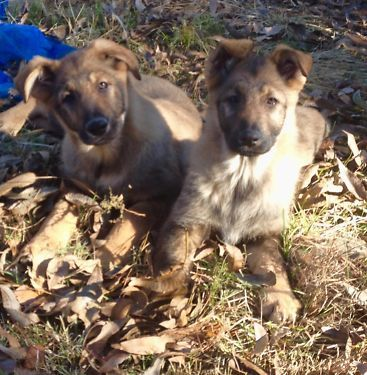 One Female Ckc German Shepherd Puppy Full Blooded Sire Is Double