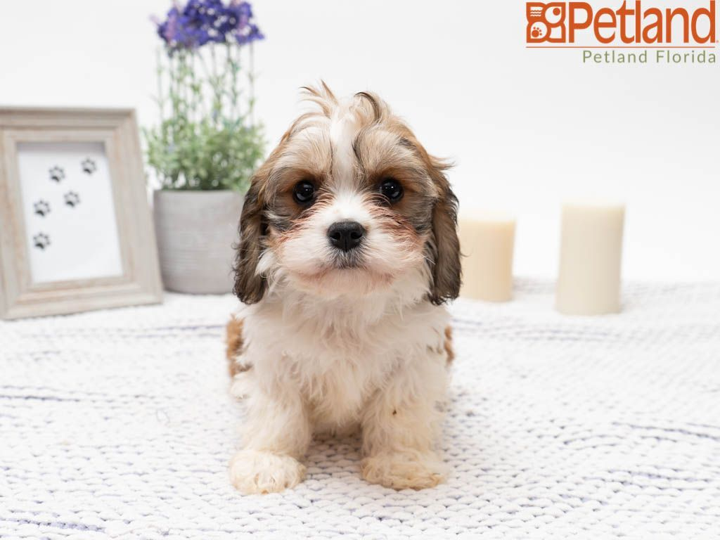 Petland Florida Has Cavachon Puppies For Sale Check Out All Our Available Puppies Cavachon Petlandkendall Petl Cavachon Puppies Puppy Friends Dog Lovers