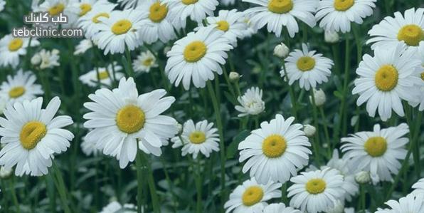 طريقة علاج الشقيقة نهائيا بالزنجبيل والاقحوان Plants