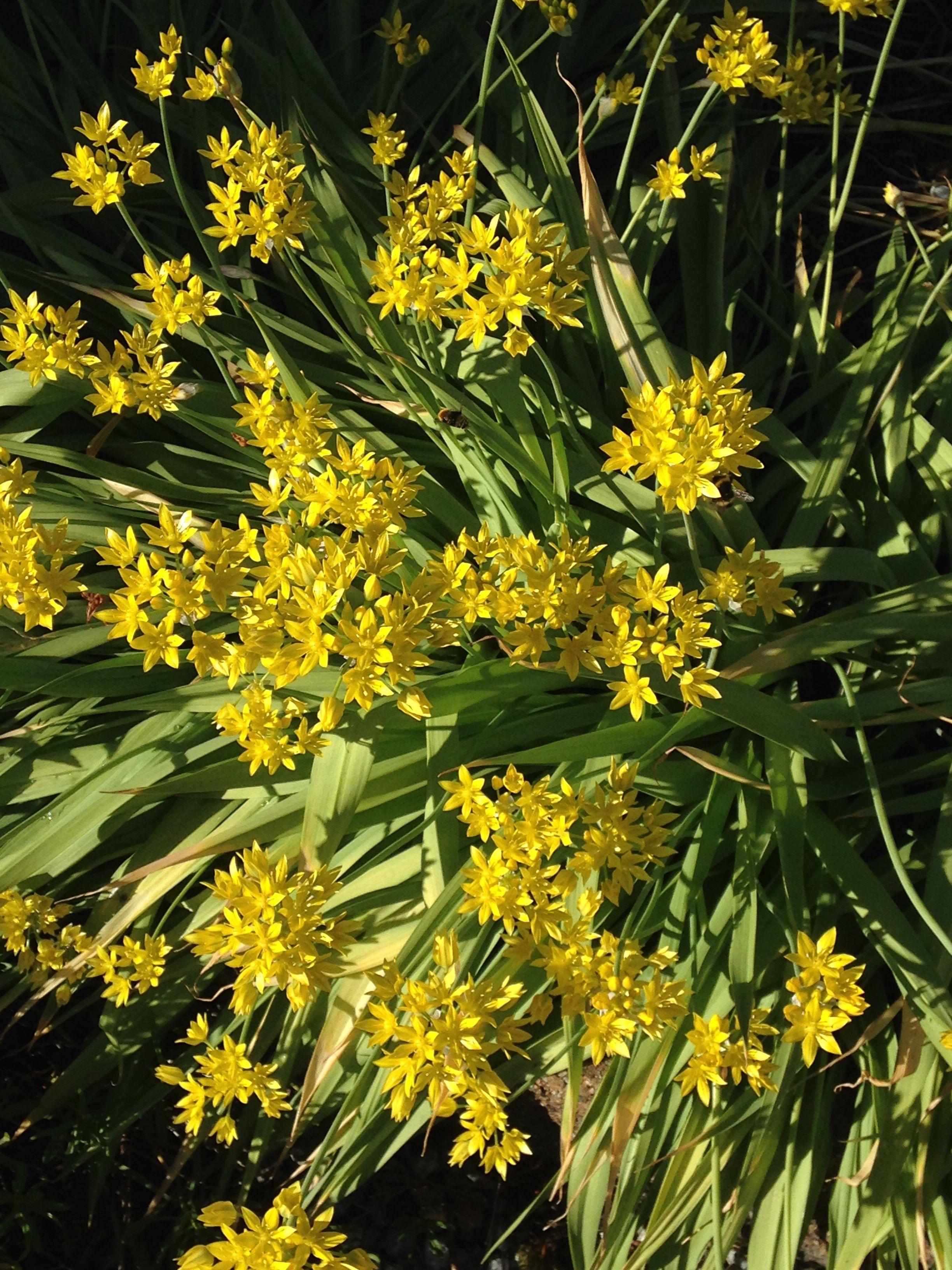 Den nydelige løkblomsten (som jeg fortsatt ikke husker navnet på), gir meg massevis av blomster i år / The yellow bulb flower (I still don´t remember the name :( - gives me lots of wonderful flowers this year