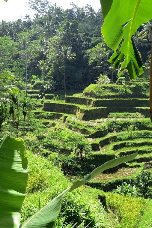 Indonesia - Bali - Ubud - Tegalalang Terrace Ricefields