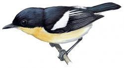 Usambara Hyliota (Hyliota usambara)
