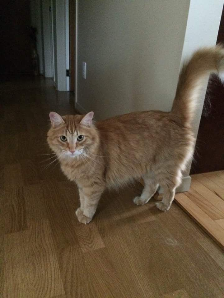 Adopted 3 Karot Is 3 Years Old And Was Rescued In A Previously Declawed Condition Through One Of Our Rescue Vets He Is Friendl Pretty Cats Cat Adoption Kitty