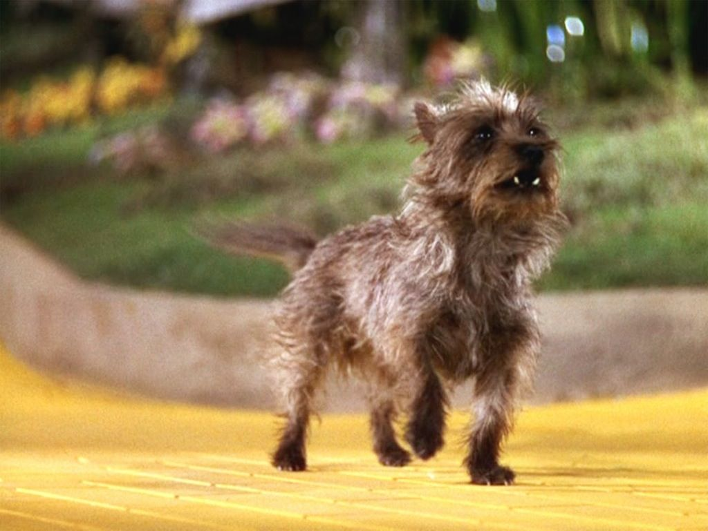 Famous Owner Of Cairn Terriers Google Search Toto Wizard Of Oz