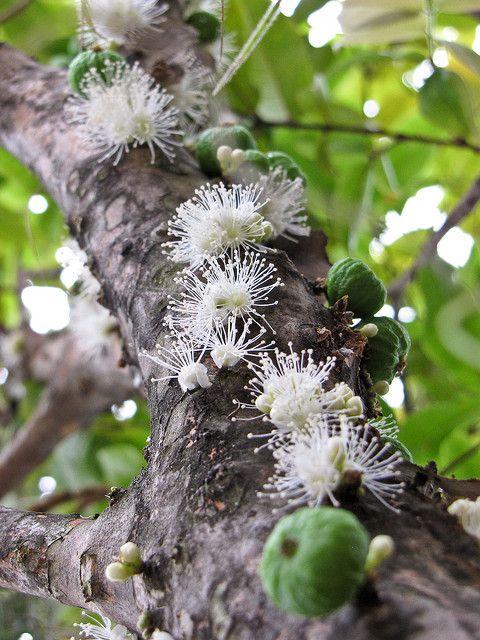 Jabuticaba flower