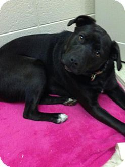 Albemarle Nc Labrador Retriever Boxer Mix Meet Liz A Dog For Adoption Http Www Adoptapet Com Pet Labrador Retriever Dog Adoption Labrador Retriever Mix