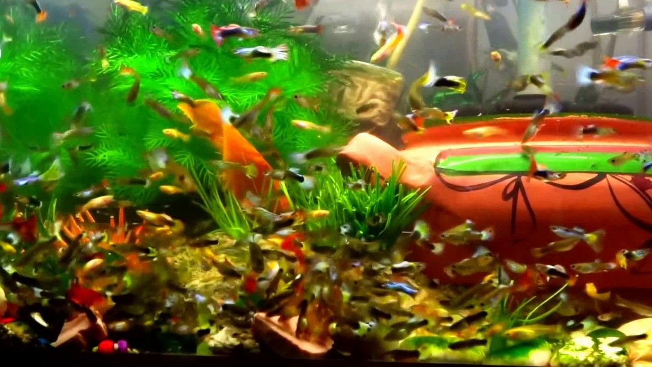 Feeding Time 1 Million Guppy Fish Tank Hd Guppy Fish Tank Wallpaper Fish Tank