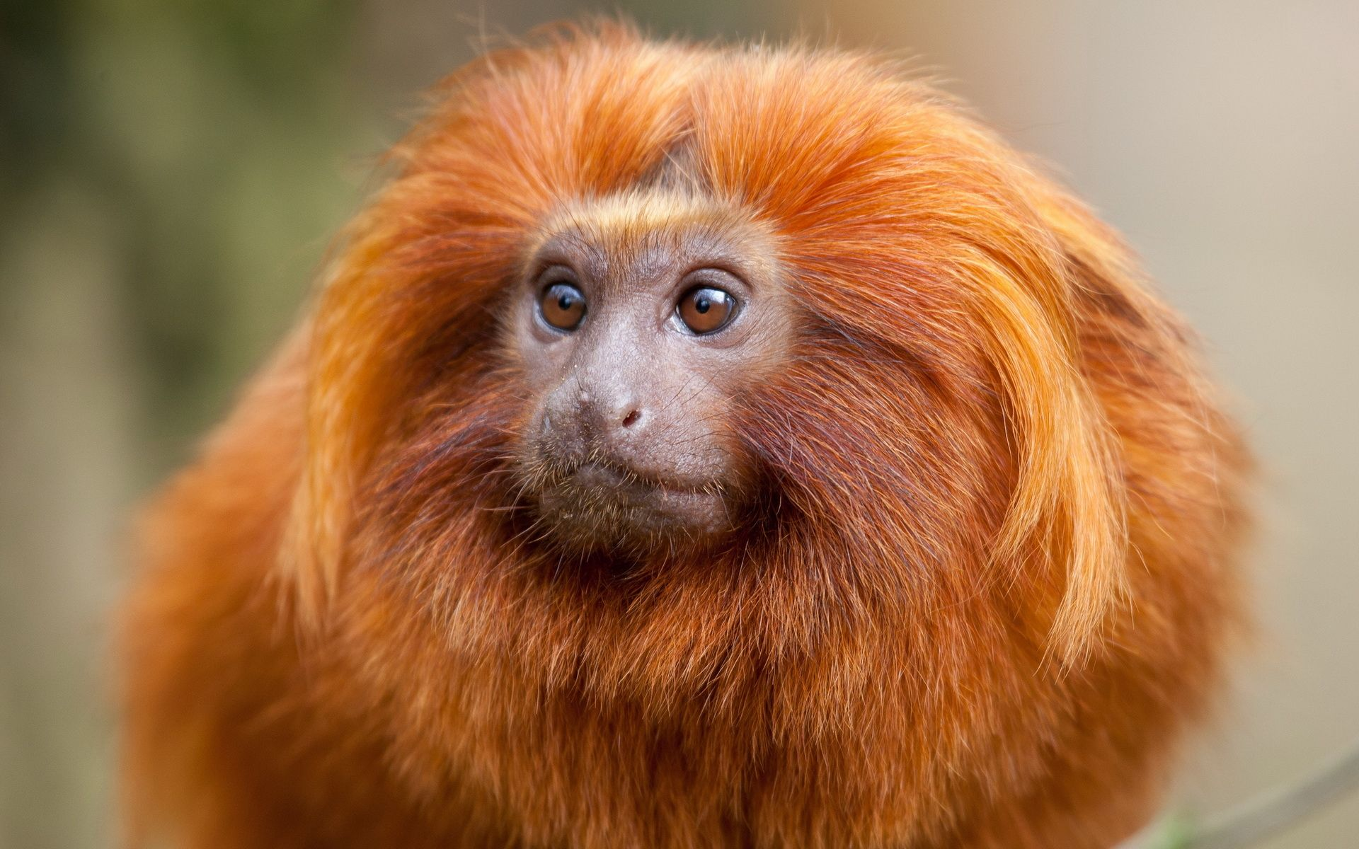 red monkey orange with long hair
