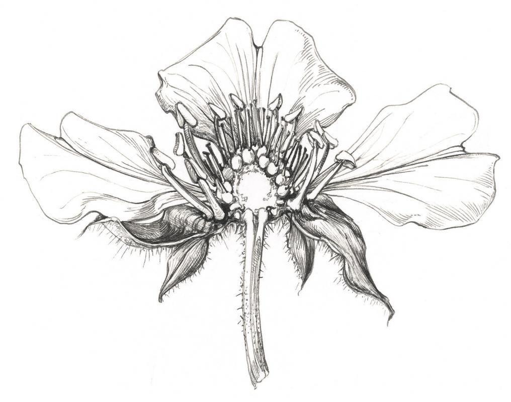Sarah Simblet : Artists : Magdalen Road Studios | botanical ...