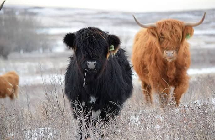highland cow in snow - Google Search (With images ... - photo#23