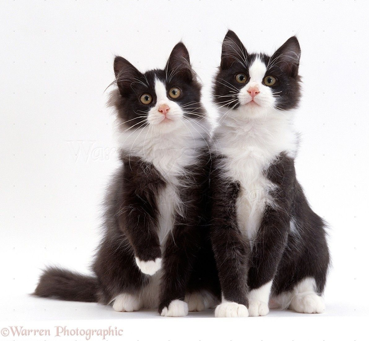 Two Black And White Kittens Photo Black And White Kittens White Cat Breeds White Kittens